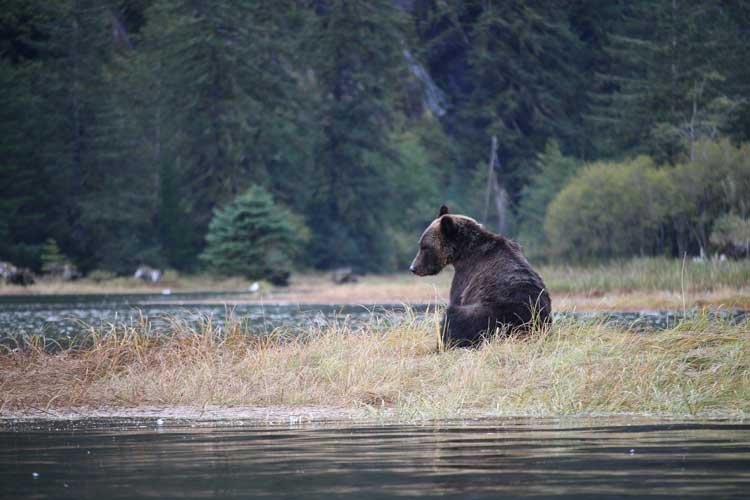 Canada Travel image of Grizzly Bear in Massey Channel in Great Bear Rainforest