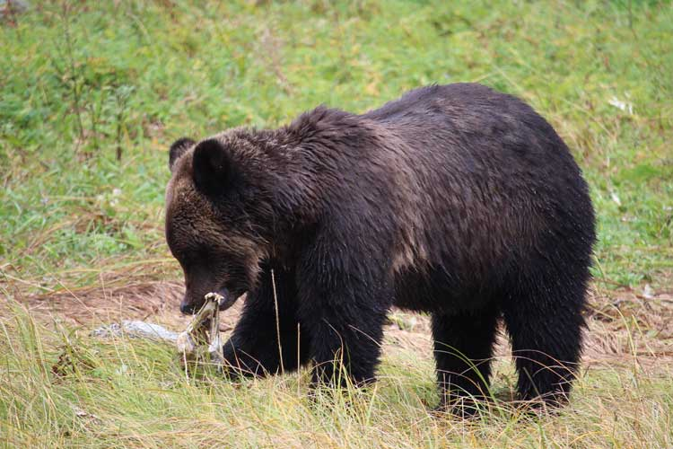 Great Bear Rainforest image of Grizzly Bear in Massey Channel eating salmon