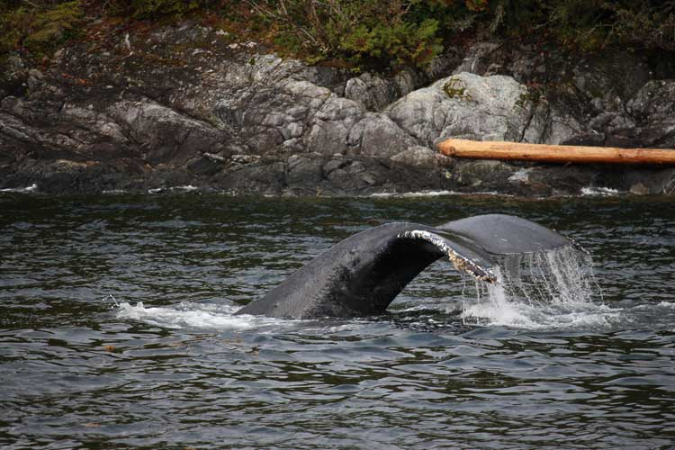 Canada spirit bear tours image of Humpback feeding