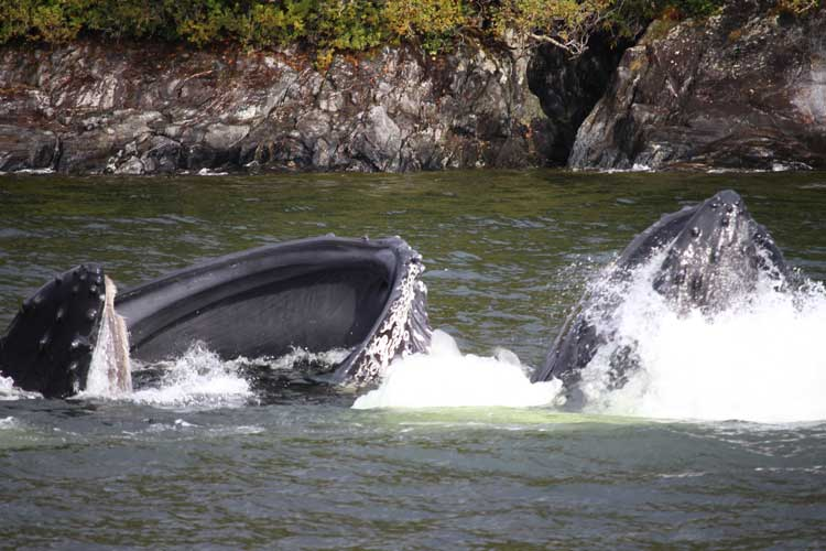 Canada Great Bear Rainforest image of Humpbacks bubblenet feeding