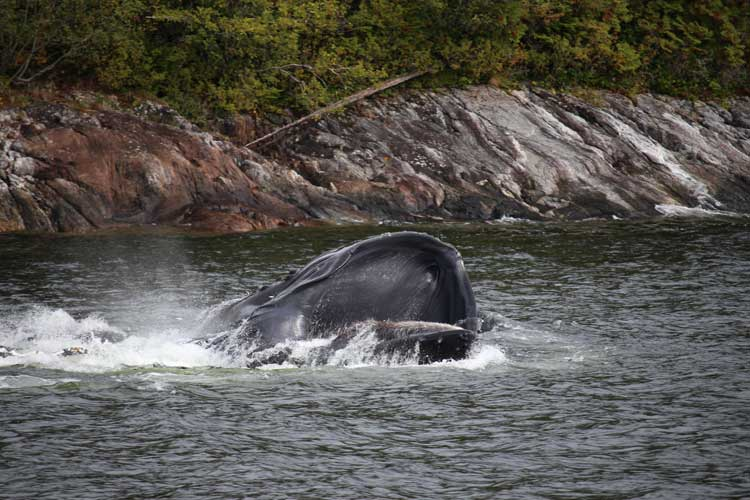 Canada Kermode Bear tours image of Humpbacks bubblenet feeding
