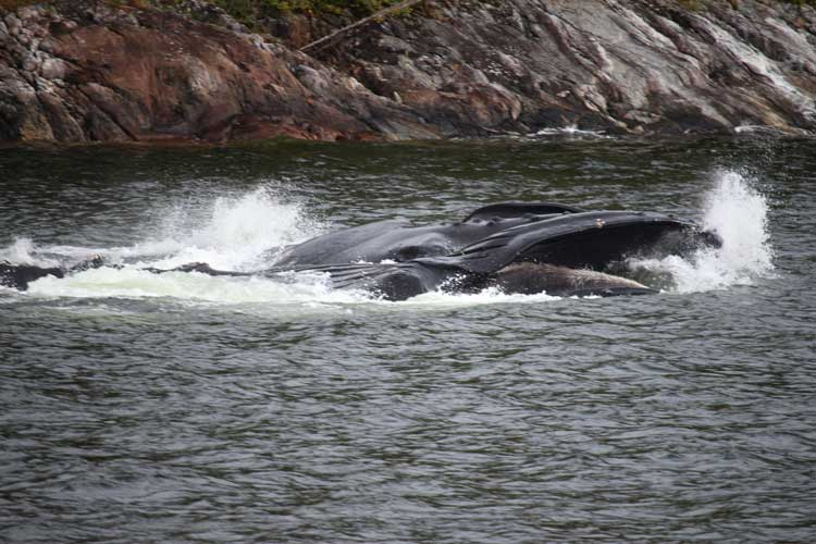 Canada travel image of Humpback feeding in BC
