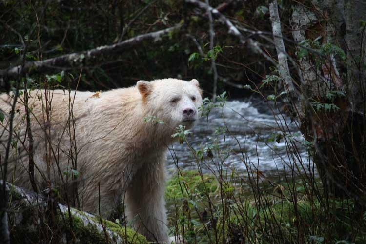 Canada spirit bear tours image of a Kermode Bear