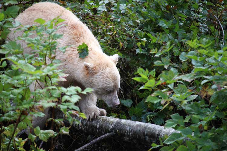 Canada travel image of a Spirit Bear in Great Bear Rainforest