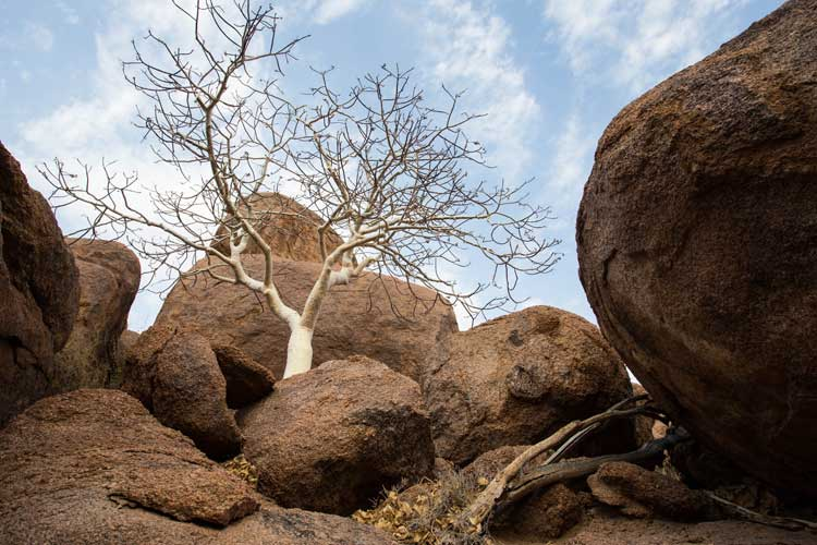 Namibia tour photo of white bark chestnut tree amongst red boulders in Damaraland