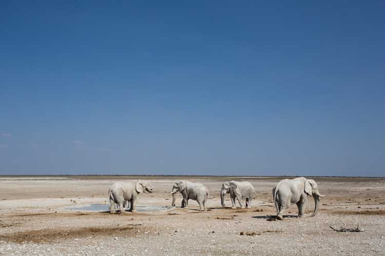 Namibia wildlife safari photo of white ghost elephants of Etosha