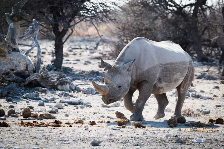 Namibia safari photo of black rhino walking in Etosha National Park
