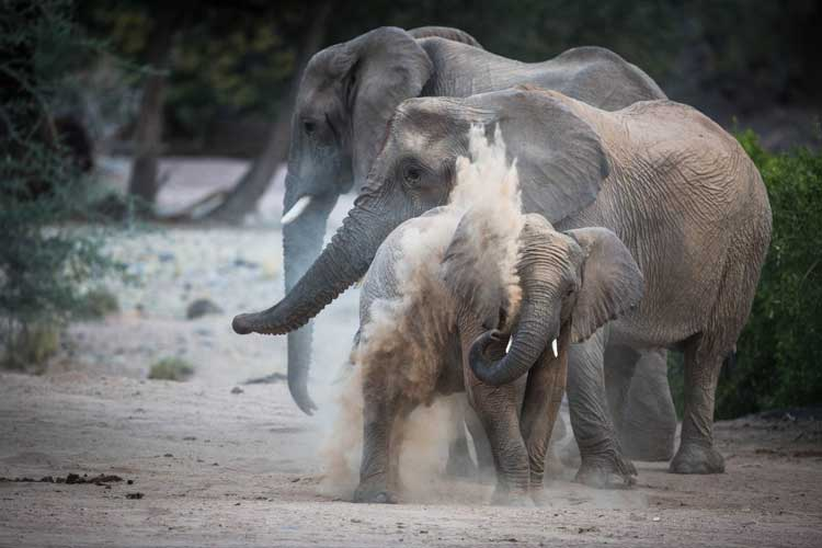 Namibia wildlife safari tour image of desert elephant dust bathing in Damaraland