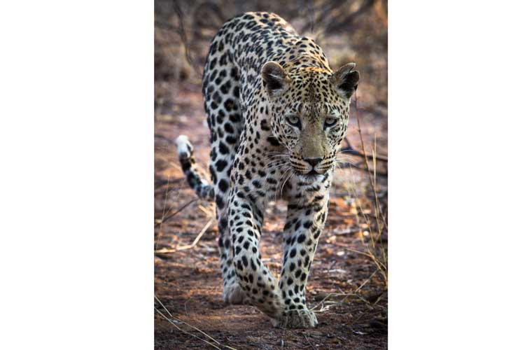 Namibia safari tour slide shows leopard walking through brush at Okonjima reserve