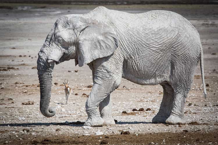 Namibia wildlife safari image of white elephants of Etosha National Park