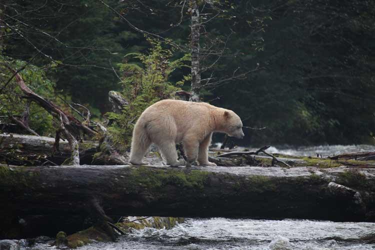Canada spirit bear tours image of Kermode Bear in British Columbia