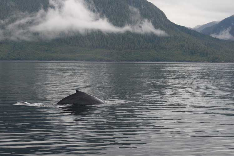 Canada travel image of humpback Whale dorsal fin