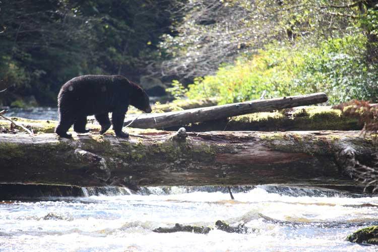 Great Bear Rainforest tour image of Black Bear