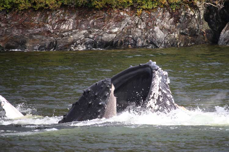 Canada travel image of humpbacks bubble net feeding