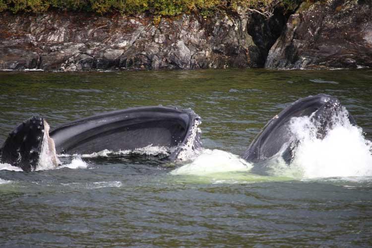 Canada spirit bear tours image of humpbacks feeding in Douglas Channel