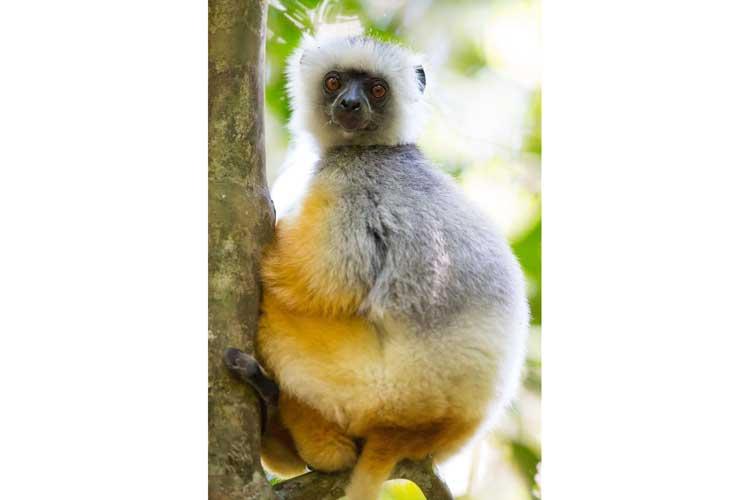 Madagascar travel image of Diademed Sifaka near Perinet