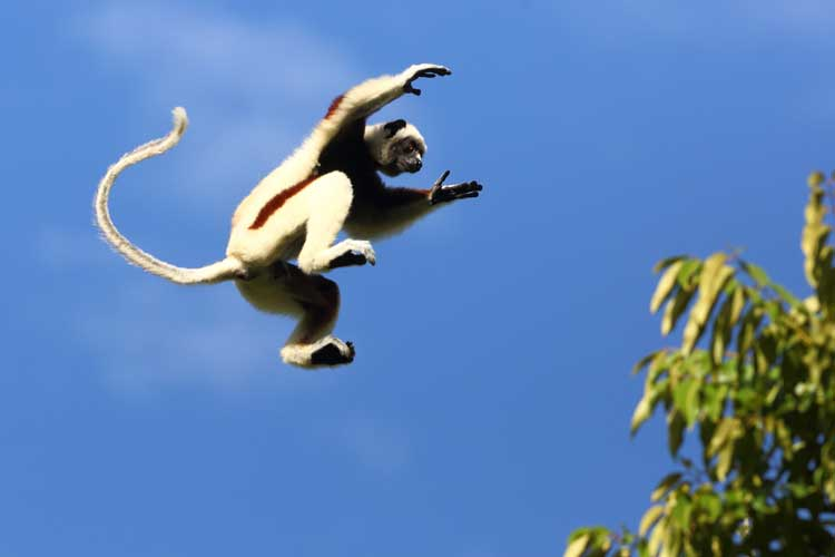 Madagascar travel image of jumping coquerel sifaka in tree