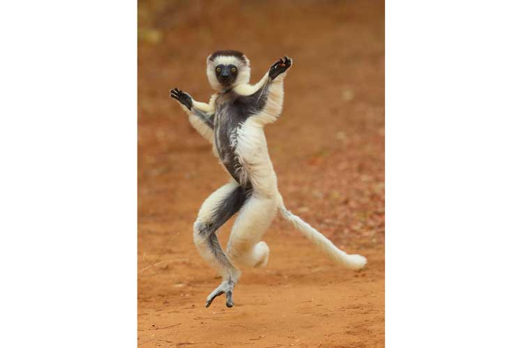 Madagascar tours image of verreauxs sifaka dancing and walking in open