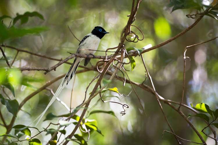 Travel to madagascar image of Paradise flycatcher sitting in tree