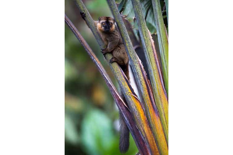 Madagascar holidays photograph of collared lemur at saida botanica garden