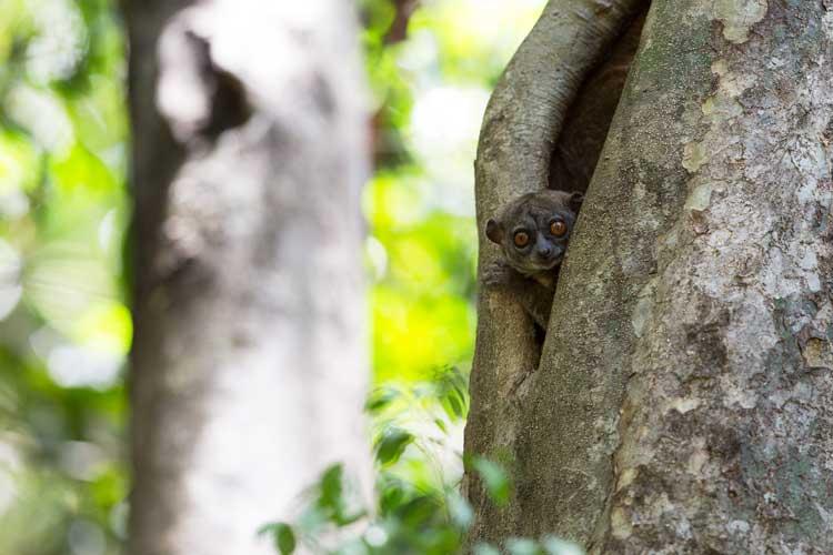 Madagascar holidays image of Ankarana lepilemur hiding in tree