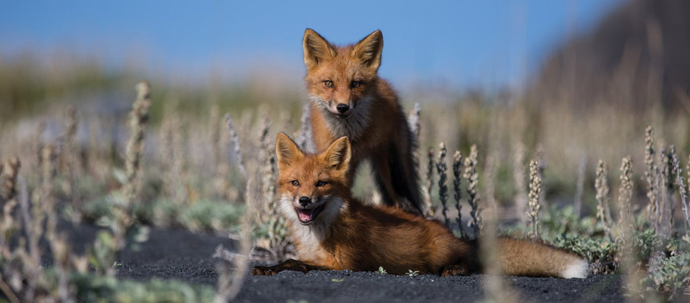 Far East Russia image of Red Foxes