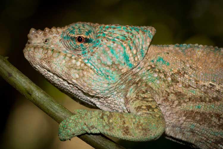 Madagascar travel image of Amber Mountain Chameleon close up
