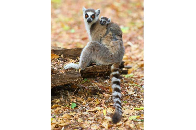 Madagascar tour photograph of ring-tailed lemur with baby on back