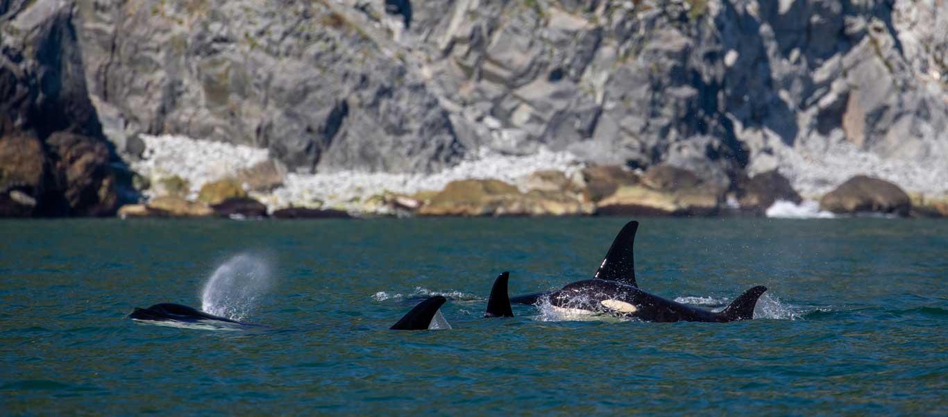 Sea of Okhotsk image of Killer Whale pod