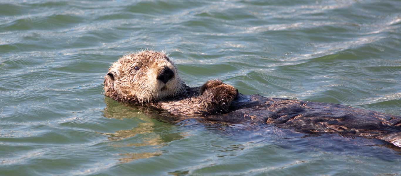 Sea of Okhotsk photograph of Sea Otter