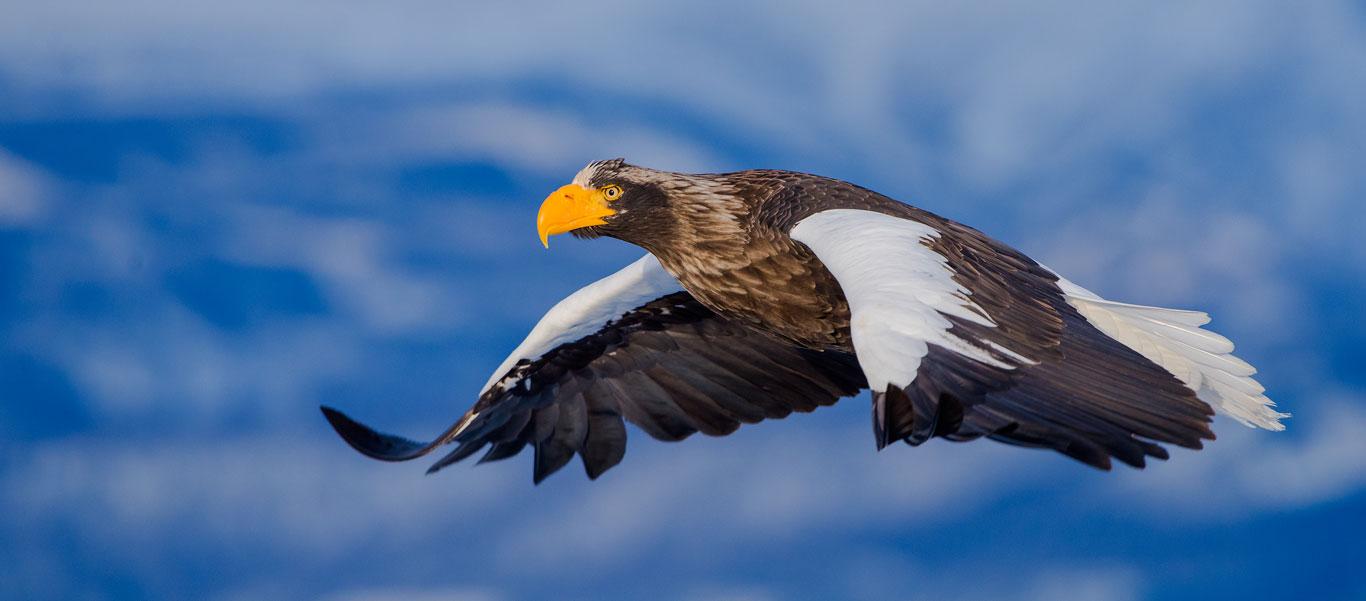 Russian Far East cruise image of Steller's Sea Eagle in flight