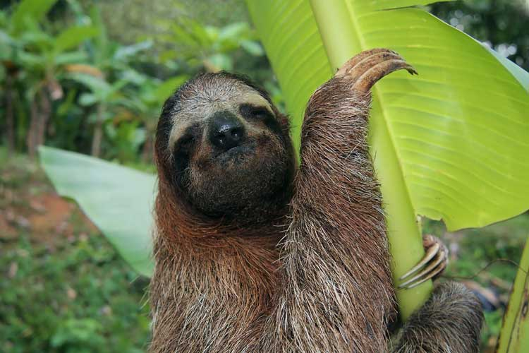 panama adventure tour image of sloth climbing fan palm