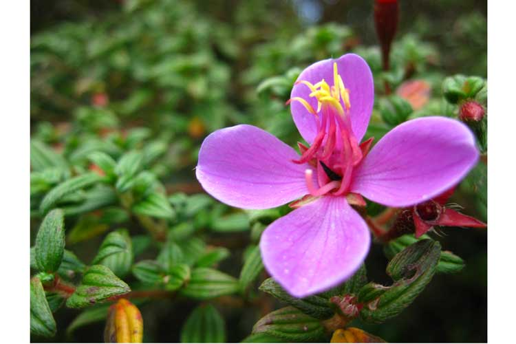 panama expedition picture of purple begonia in cloud forest