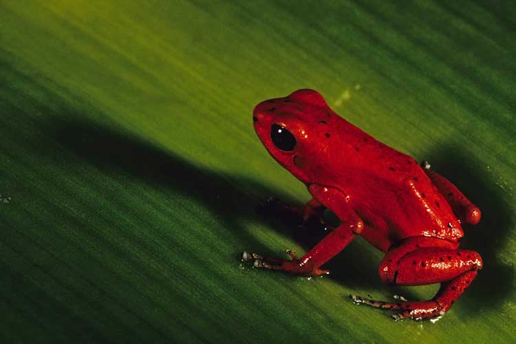 Panama adventure tour image of red poison dart frog on leaf
