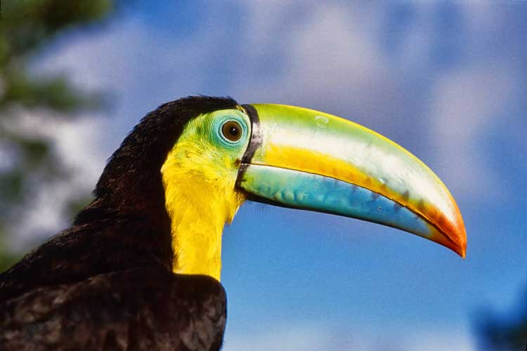 Panama tours close up image of keelbilled toucan