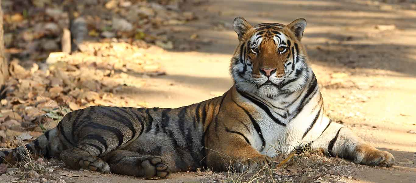 Safari India image of a Bengal Tiger