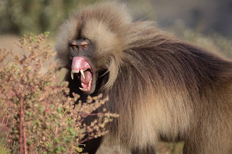 Ethiopian travel picture of gelada flipping lip and showing teeth