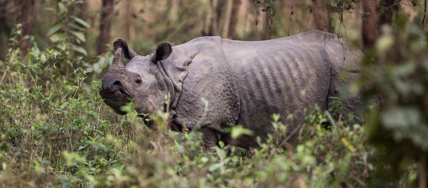 Tiger safari slide of a Great One-horned Rhinoceros