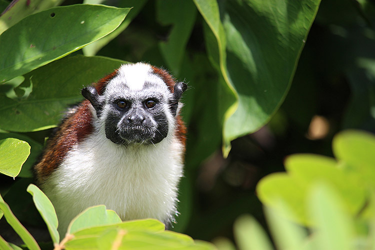 Panama expedition photo close up of red-nosed tamarin