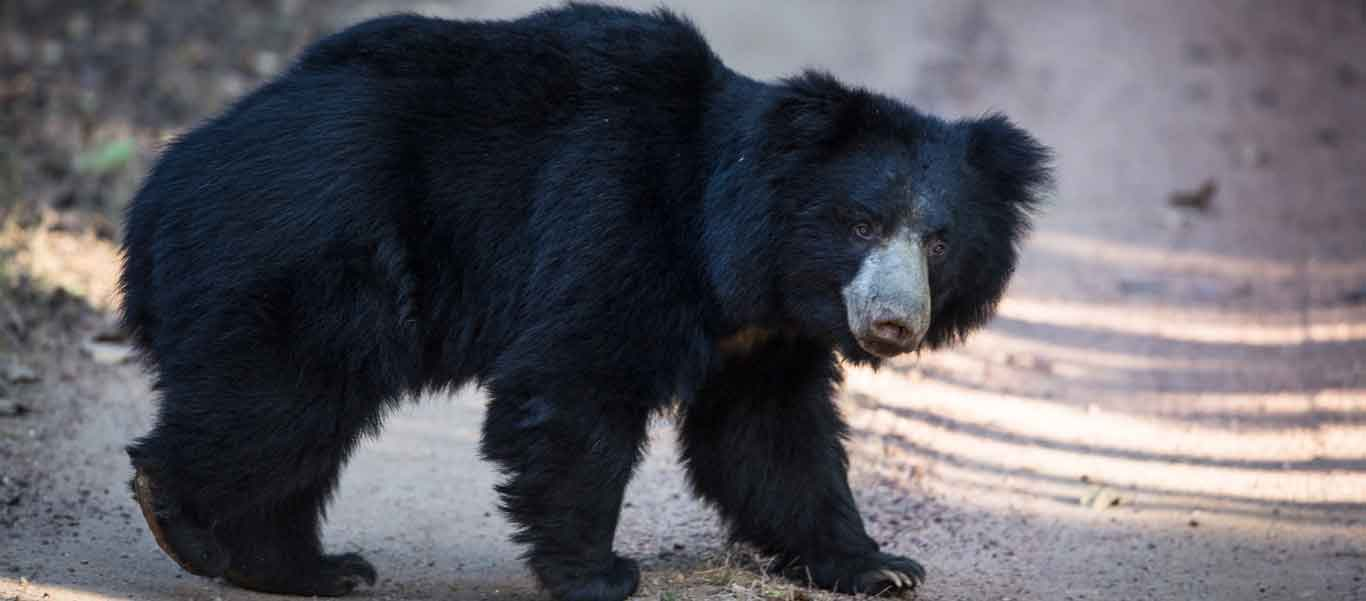 Tiger safari photo of Sloth Bear in Kanha National Park