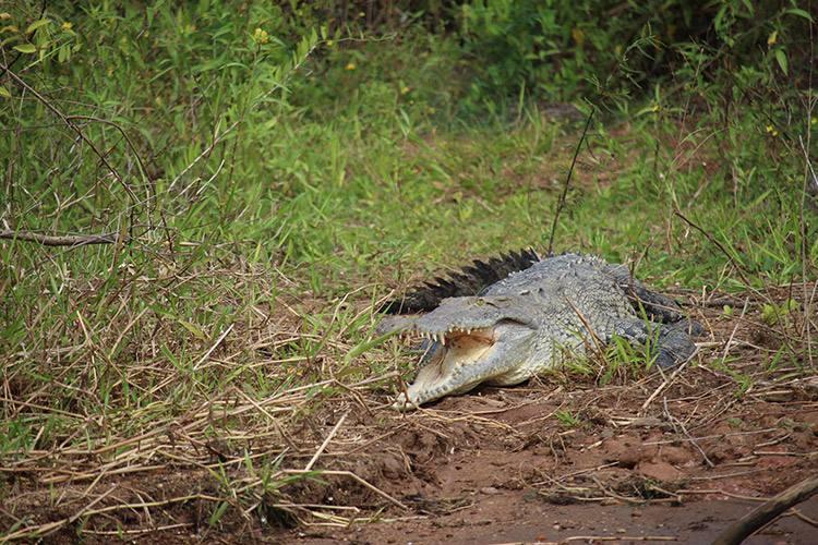 Panama tours image of American Crocodile on bank of Panama Canal