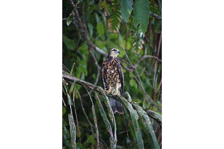 Panama adventure tour photo of Snail Kite on branch