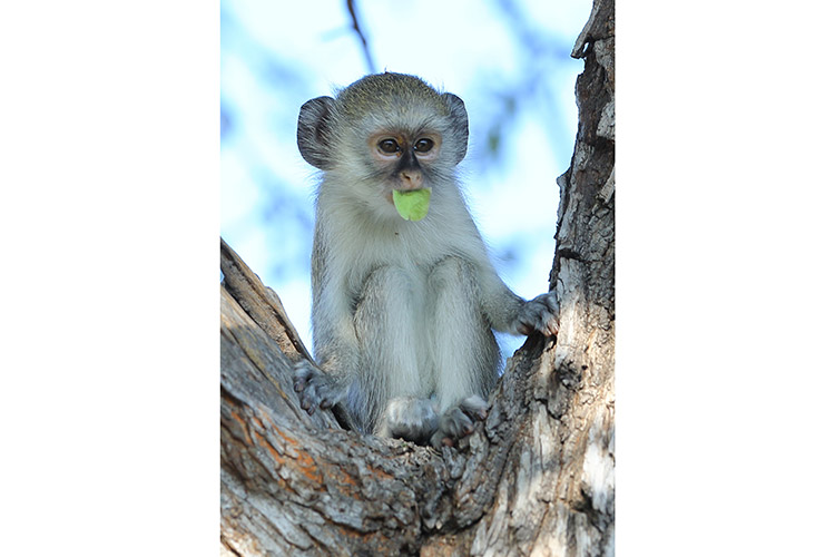 botswana safari tour photo of baby vervet monkey in tree