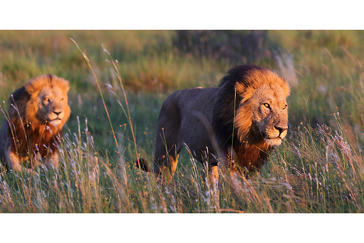 botswana travel photo of lions walking at sunrise