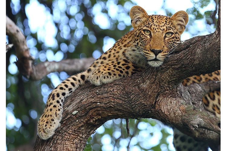 botswana expedition image of leopard laying in tree