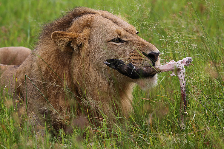 botswana safari tour image of lion eating stolen kill