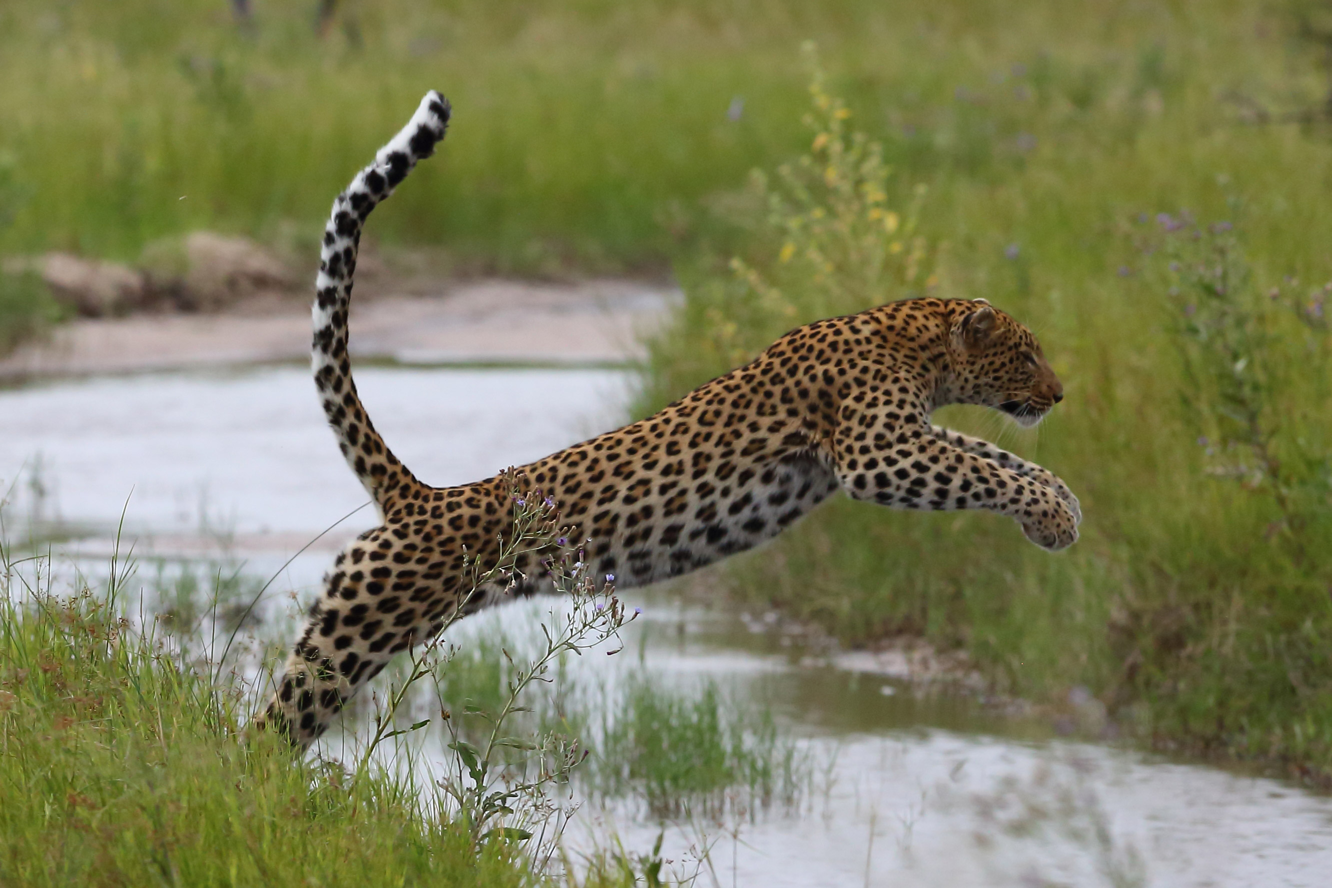 botswana travel image of leopard leaping across vumbura flooded road
