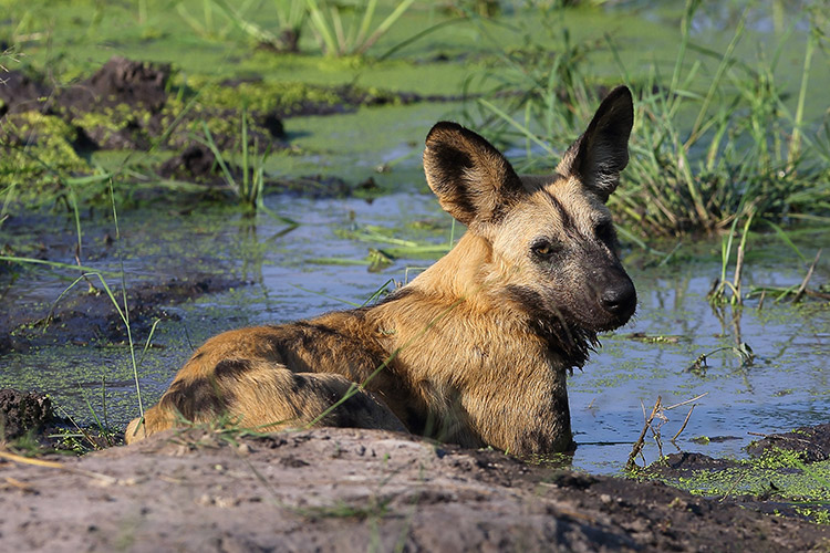 botswana travel image of wild dog cooling off in mud