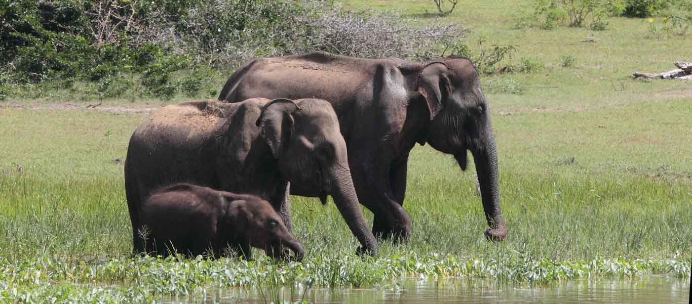 Sri Lanka tours image of Asian Elephants in Yala National Park