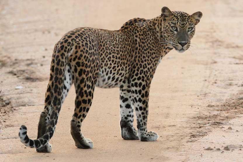 Sri Lanka safari photo of Asian Leopard in Yala National Park